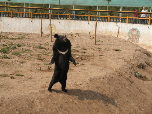 耀武扬威的黑熊