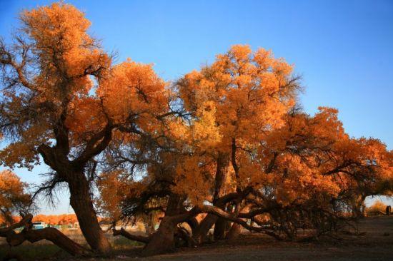 怪异的胡杨树