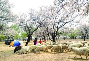 游客在乌素图村赏花