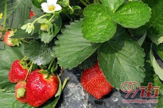 草莓采摘园的草莓