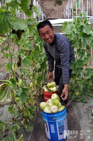 赤峰市阿鲁科尔沁旗新民乡林场村农民曹爽在采摘香瓜(4月25日摄)