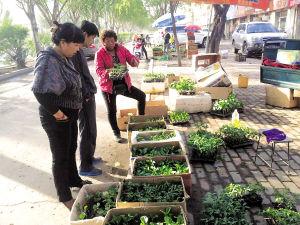 图为市民在一家商铺门前选购蔬菜秧苗