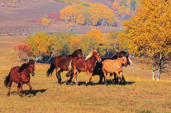 马群展现了北方粗犷雄浑的阳刚