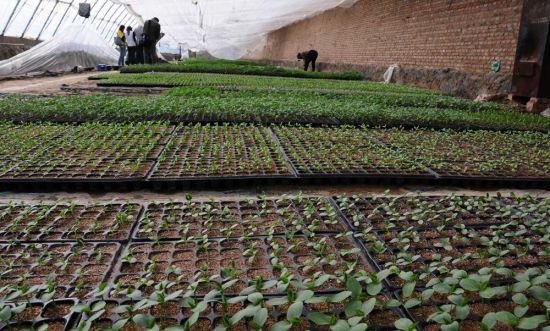 图为根宝村种植基地