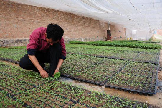日,内蒙古呼和浩特市赛罕区根堡村的高爱威如往常一样来到自己的育苗中心,他精心呵护的种苗已成为全村人的种植来源。