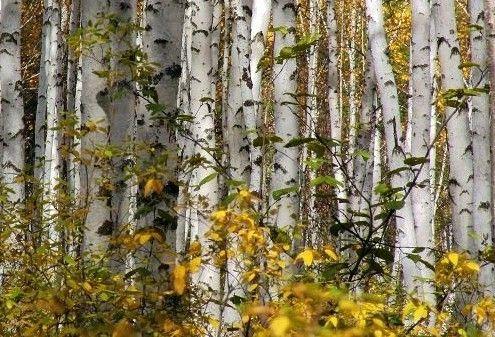 呼伦贝尔白桦林长廊