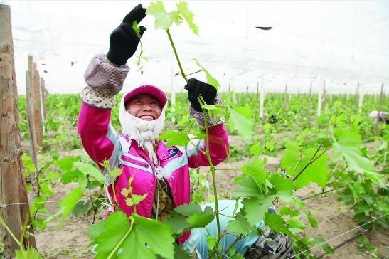 采摘工人张孝华正在给葡萄摘须和绑蔓