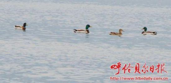 除了野鸭子,许多水鸟也是这里的常客