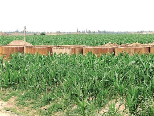氰化罐藏在玉米地中十分隐蔽