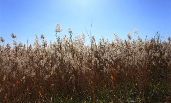 哈素海芦苇丛