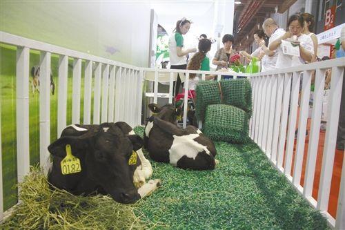 包头源升牧业的特色展区内,两头小牛吸引了人们的目光。