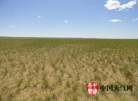 近期,锡林郭勒盟出现旱情,牧草长势差。(张立伟 摄)