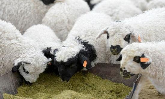 绵羊卷刘海图片