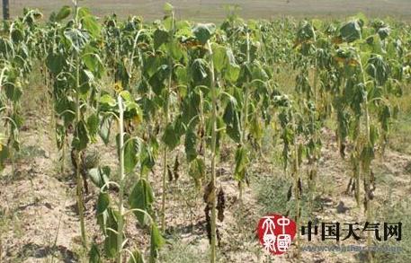 汛期以来,赤峰市克什克腾旗大部地区降水持续偏少,农牧区遭受旱灾(李博 摄)