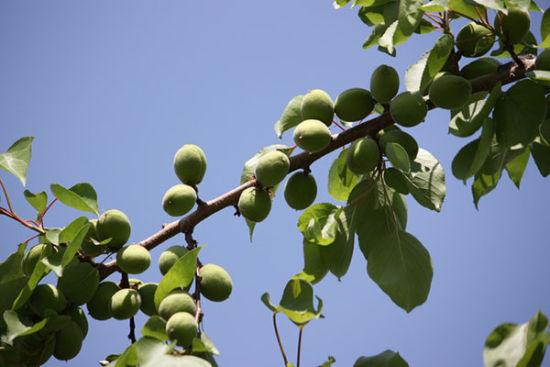 内蒙古适合种什么果树