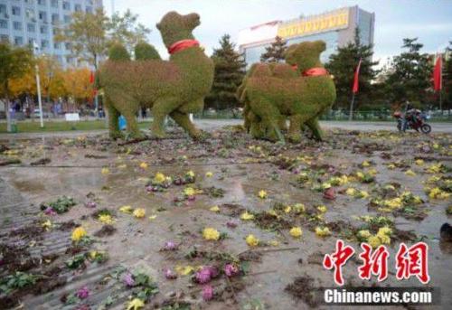 数万盆菊花被搬空