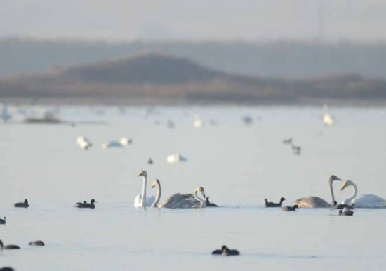 候鸟在查汗淖尔湿地休憩