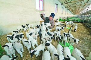 巴雅尔正在给羊羔喂奶