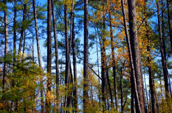 原始林木景观