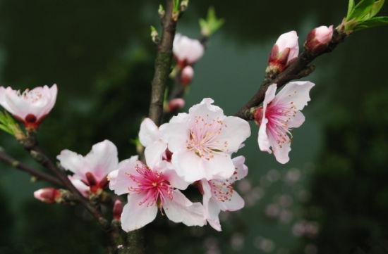 棚内桃花枝
