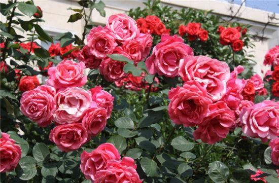 赤峰市花玫瑰图片