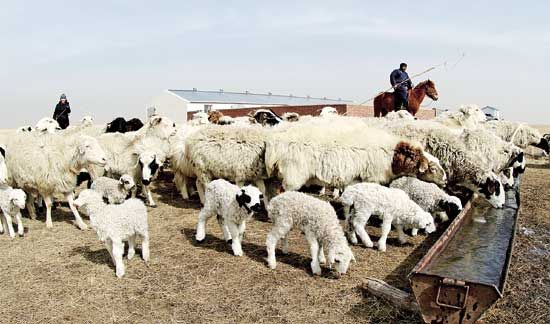 逐年齐备的设施、宽敞温暖的棚舍,让羔羊成活率一年比一年高