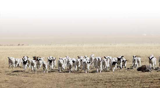 活泼可爱的羊羔给草原带来勃勃生机