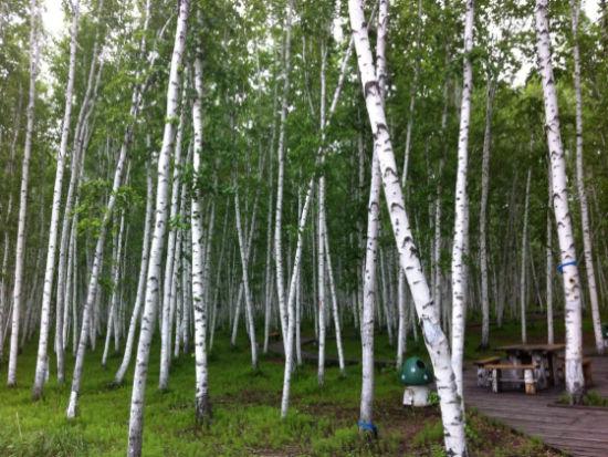 白桦林边小路