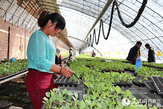 开鲁县东风镇七家子村农民王敏正在将西红柿苗嫁接到南瓜苗上