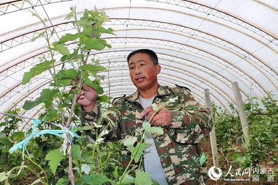 开鲁县黑龙坝镇大棚葡萄种植户李宝忠正在检查苗情