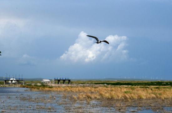 达里湖候鸟