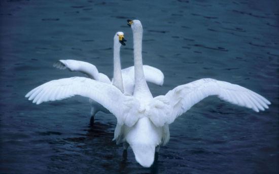 优雅的白天鹅
