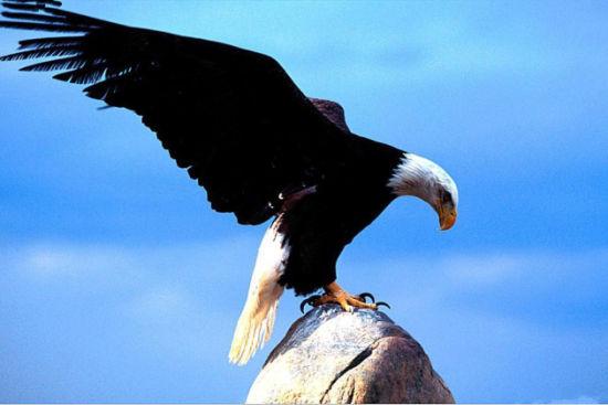 展翅欲飞的苍鹰