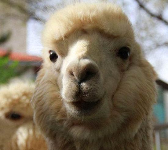 达茂旗希拉穆仁草原将迎来40多只羊驼供游客观赏