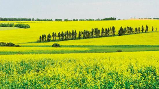 油菜花与白桦树、草原交错呼应