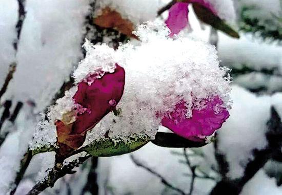 杜鹃花雪中开放