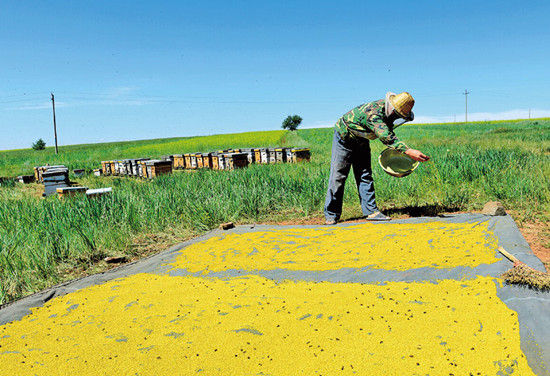 油菜花盛开吸引养蜂人淘金