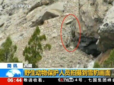 西藏动物保护人员拍摄到罕见雪豹画面