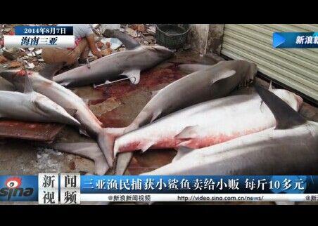 三亚渔民违法贩售小鲨鱼 每斤仅10余元