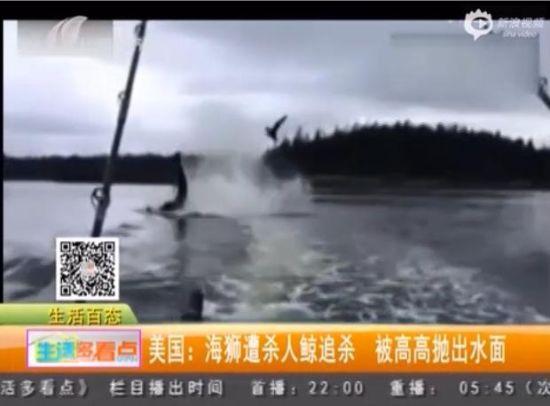 实拍海狮遭鲸追杀被甩出水面数米引惊呼