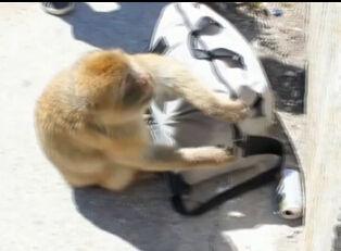 实拍猕猴从游客背包里偷午餐 逗乐失主