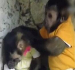 实拍小猴将小伙伴揽臂弯安慰 双目含情凝望